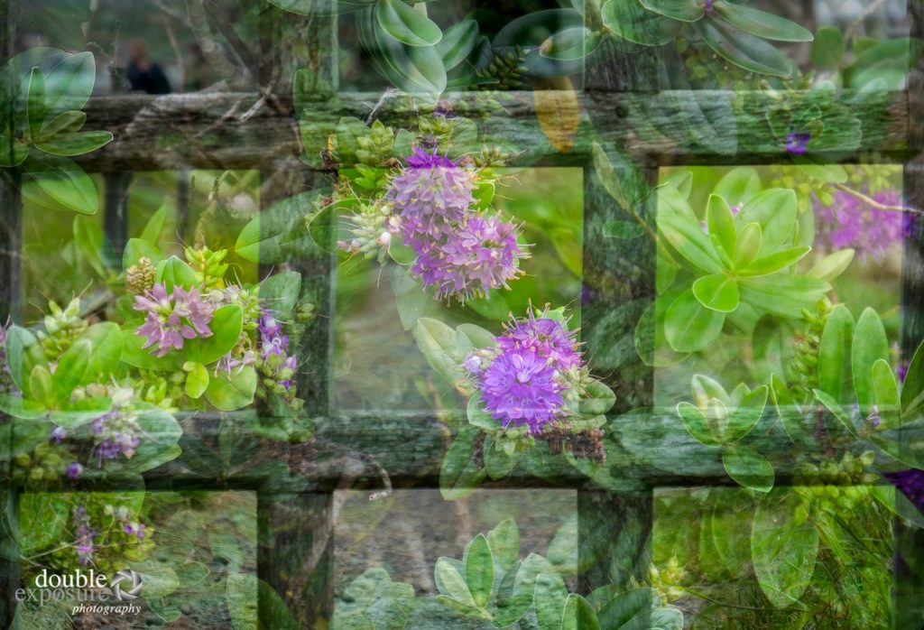 garden gate and flowers create a double exposure