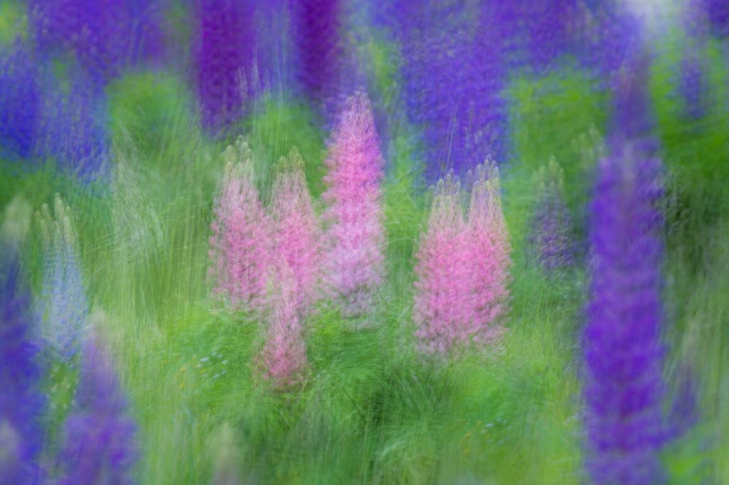 Colourful lupines are abundant in spring at Bella Coola photography workshops.